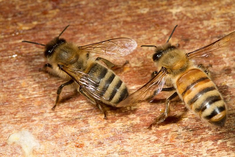 Rasy pszczół miodnych w Polsce - photo#6
