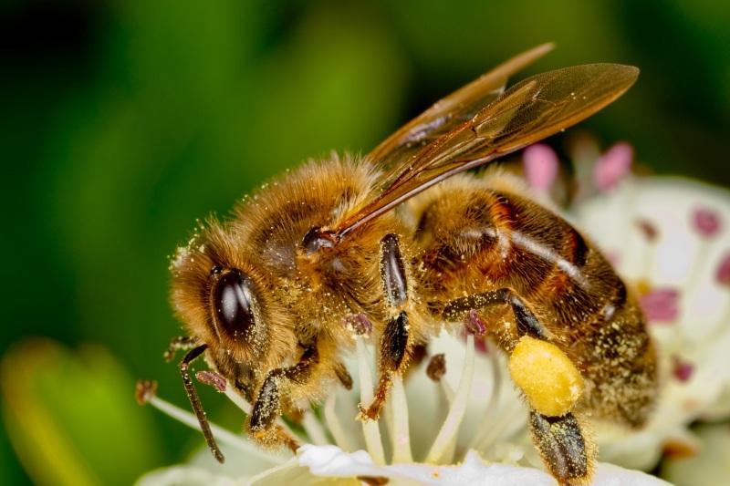 Budowa pszczoły miodnej - tułów i nogi